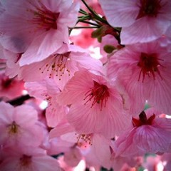 CherryBlossom's picture